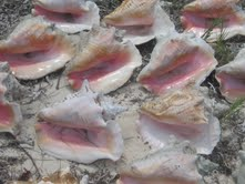 Turks and Caicos Conch Shells