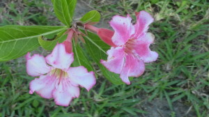 desert rose pink and white flowers