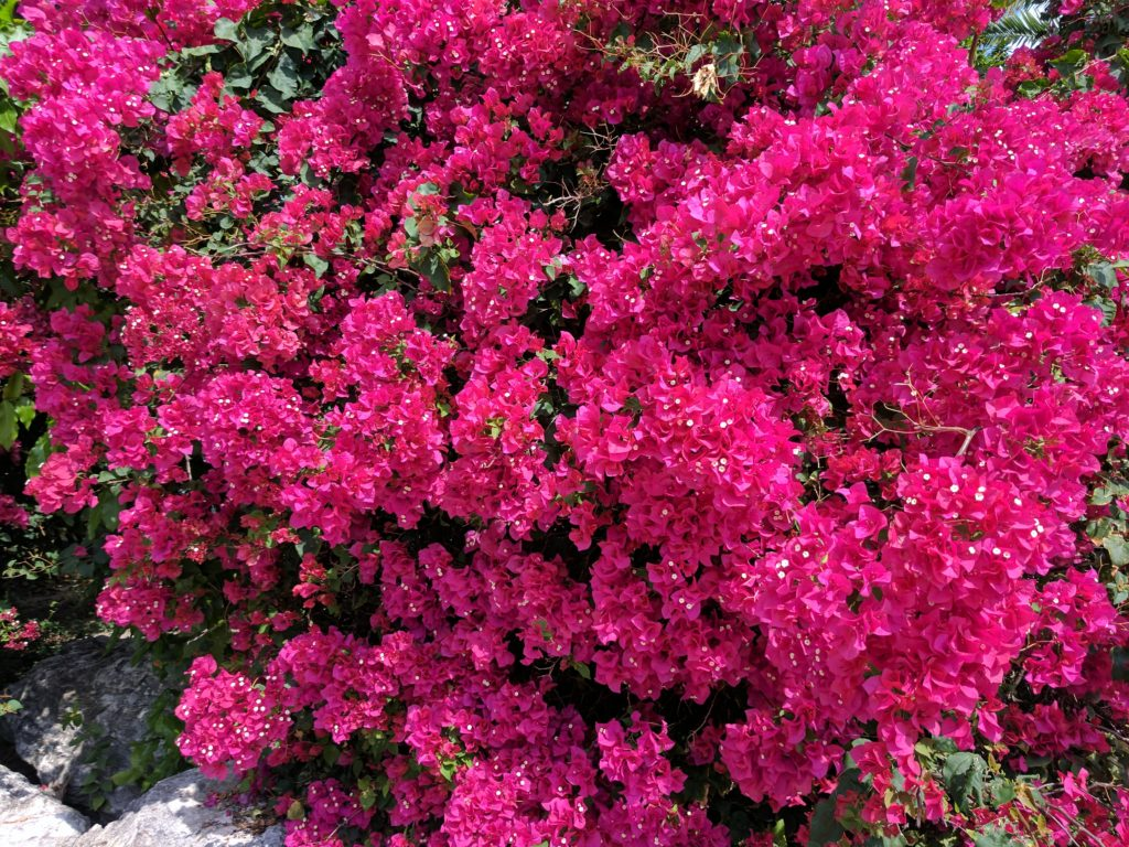 blooming bougainvillea on Providenciales